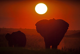 African Elephants, Loxodonta Africana, Grazing under the Setting Sun Photographic Print by Beverly Joubert