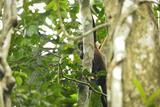 A Mantled Howler Monkey, Alouatta Palliata, on Barro Colorado Island Photographic Print by Jonathan Kingston