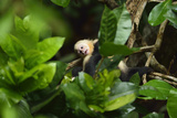 A Juvenile White-Faced Capuchin, Cebus Capucinus, Being Groomed by Another Monkey Photographic Print by Jonathan Kingston