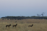 A Pack of African Wild Dogs, Lycaon Pictus, Watch a Herd of Buffalo Pass Photographic Print by Beverly Joubert