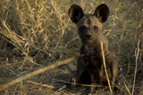 An African Wild Dog, Lycaon Pictus, Pup Sits in the Long Grass Photographic Print by Beverly Joubert