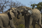 A Pair of African Elephants Tangle Trunks in South Africa's Timbavati Game Reserve Photographic Print by Steve Winter