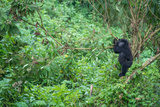 A Young Mountain Gorilla, Gorilla Beringei Beringei, Standing on the Tree in Forest Photographic Print by Tom Murphy