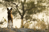 An African Wild Dog, Lycaon Pictus, Stands on a Hill at Sunset Photographic Print by Beverly Joubert