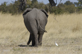 A White Bird Next to an Elephant, Upper Vumbura Plains, Botswana Photographic Print by Anne Keiser