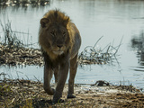 A Lion, Panthera Leo, Walking Out of a Spillway Photographic Print by Beverly Joubert
