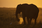 An African Elephant, Loxodonta Africana, Grazing under the Setting Sun Photographic Print by Beverly Joubert