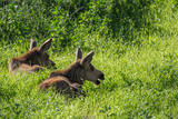 Two Young Moose, Alces Alces, Calves Sit in the Grass in Denali National Park Photographic Print by Erika Skogg