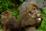 The Macaque, Macaca, in Emeishan National Park, Sichuan Province, China Photographic Print by Tyrone Turner