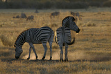 Two Zebras, Selinda Camp, Botswana Photographic Print by Anne Keiser