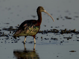 A Glossy Ibis, Plegadis Falcinellus, Wading in Water Photographic Print by Beverly Joubert