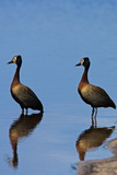 Two White-Faced Whistling Duck, Dendrocygna Viduata, at the Water's Edge Photographic Print by Beverly Joubert