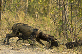 A Mother African Wild Dog, Lycaon Pictus, Play Fighting with its Pups Photographic Print by Beverly Joubert