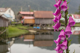 Foxgloves, Digitalis, Flowers Bloom in Front of an Alaskan Fishing Village Photographic Print by Erika Skogg