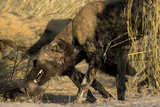 An African Wild Dog, Lycaon Pictus, Biting its Pup Photographic Print by Beverly Joubert