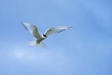 An Arctic Tern in Flight Above Vigur Island, Isafjordur Bay Photographic Print by Michael Melford