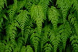 Close-Up of Fern in Forest of Emei Shan Fotografisk tryk af Tyrone Turner
