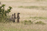 Banded Mongooses, Mungos Mungos, Standing on their Hind Feet Photographic Print by Sergio Pitamitz
