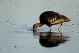 A Glossy Ibis, Plegadis Falcinellus, Foraging in the Water Photographic Print by Beverly Joubert