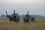 A Herd of African Elephant, Loxodonta Africana, Walk While Smelling the Air Photographic Print by Beverly Joubert