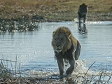 A Male Lion, Panthera Leo, Crosses a Spillway Photographic Print by Beverly Joubert
