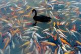 Black Swan, Cygnus Atratus, and Koi, Cyprinus Carpio, Swimming in the Water Photographic Print by Tyrone Turner