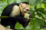 A White-Faced Capuchin Monkey Eats an Unripe Mango in Manuel Antonio National Park Photographic Print by Jonathan Kingston