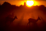Silhouette of Lechwe, Kobus Leche, in the Early Morning Light Photographic Print by Beverly Joubert