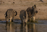 Three Zebras, Equus Quagga, Walking into the Spillway for Drinking Water Photographic Print by Beverly Joubert