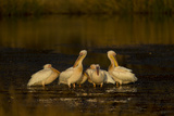 A Flock of Pelicans in a Spillway Photographic Print by Beverly Joubert