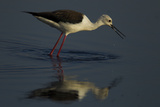 A Black-Winged Stilt, Himantopus Himantopus, Foraging for Food Photographic Print by Beverly Joubert