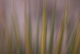 Mojave Yucca Plant, Yucca Schidigera, at Joshua Tree National Park, California Fotografisk tryk af Philip Schermeister