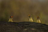 Three Yellow-Billed Oxpeckers Perch on Top of an African Buffalo, Syncerus Caffer Photographic Print by Beverly Joubert