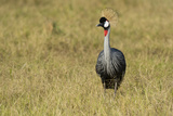 A Grey Crowned Crane, Balearica Regulorum Gibbericeps, in Grass Photographic Print by Sergio Pitamitz