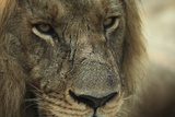 A Close-Up of a Scared Male Lion, Panthera Leo Photographic Print by Beverly Joubert