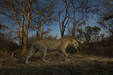 A Remote Camera Captures a Leopard in South Africa's Timbavati Game Reserve Photographic Print by Steve Winter