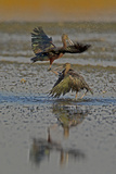 Two Glossy Ibis, Plegadis Falcinellus, Fighting to Determine Who Is the Alpha Male Photographic Print by Beverly Joubert