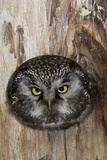 A Boreal Owl in the Hollow of a Tree Photographic Print by Michael Quinton