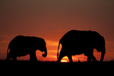 The Silhouette of Two African Elephants Grazing Against Dramatic Sky During Sunset Photographic Print by Beverly Joubert
