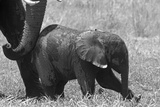 A Mother African Elephant Giving Her Calf a Little Nudge to Get it to Walk Photographic Print by Beverly Joubert