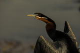 An African Darters, Anhinga Rufa, Spreading its Wings Photographic Print by Beverly Joubert