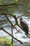 A Juvenile Bald Eagle, Haliaeetus Leucocephalus, Perches on a Branch Photographic Print by Erika Skogg