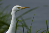 Close-Up of a Cattle Egret, Bubulcus Ibis, Looking over the Water Photographic Print by Beverly Joubert