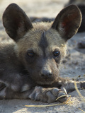 A Close-Up of an African Wild Dog Pup, Lycaon Pictus Photographic Print by Beverly Joubert