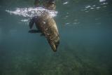 A Galapagos Sea Lion Swimming Reproduction photographique par Jad Davenport