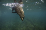 A Galapagos Sea Lion Swimming Photographic Print by Jad Davenport