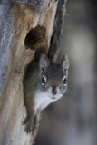 A Red Squirrel in the Hollow of a Tree Photographic Print by Michael Quinton