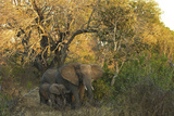 An African Elephant and Calf in South Africa's Timbavati Game Reserve Photographic Print by Steve Winter