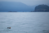 A Puffin, Fratercula, Floats on the Pacific Ocean Near the Inian Islands Photographic Print by Erika Skogg