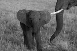 An African Elephant, Loxodonta Africana, Calf Grazing with its Mother Photographic Print by Beverly Joubert